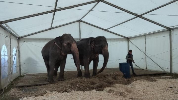 «У них мерзнут ушки»: в Волжском из-за непогоды отменили первомайское шествие слонов