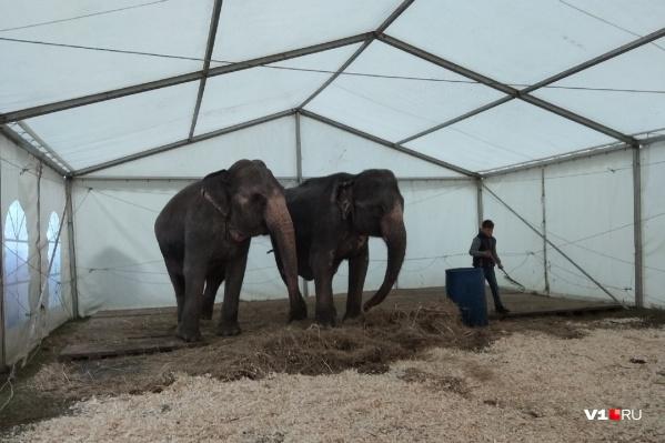 Статные слонихи дрожат от холода и не готовы праздновать холодный Первомай