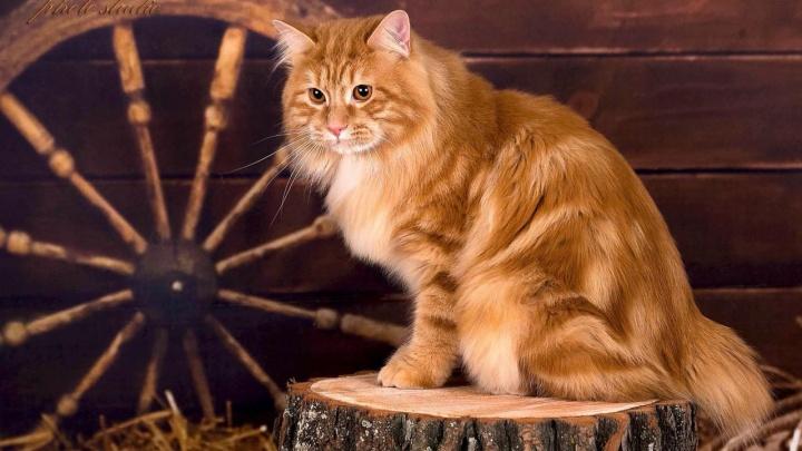 Праздник «Доброго Кота»: в Омске пройдет большая выставка кошек в честь дня рождения клуба