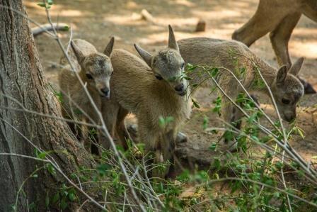 В ростовском зоопарке родились семь маленьких туров