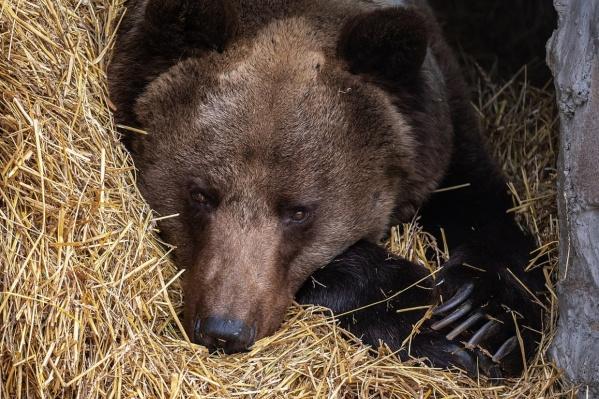 С начала года медведи 100 раз выходили домам красноярцев