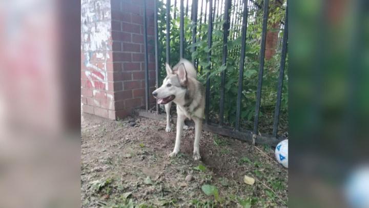 «Хаски плачет»: в Перми ищут хозяина для пса, два дня просидевшего на привязи на стадионе «Молот»