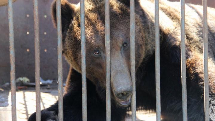 «По документам это собака породы медвежонок»: в Прикамье у трассы четыре года живет медведь