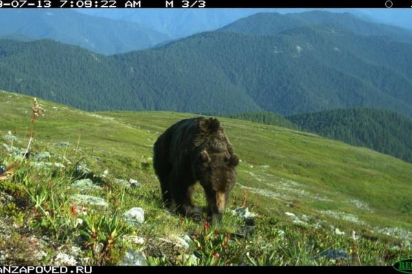 Медведи один за другим выходили на след