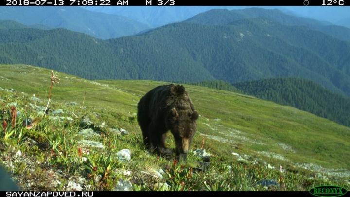 Фотоловушки заповедника сняли редкие кадры: два медведя ищут по следам раненого марала