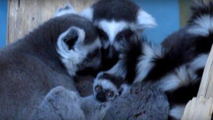 Опять пополнение: у лемуров в Новосибирском зоопарке родились забавные детёныши