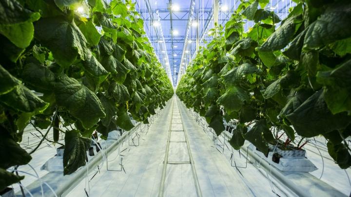 Тут даже цветы вырастут: под Новосибирском открыли огромную теплицу за 1,8 миллиарда