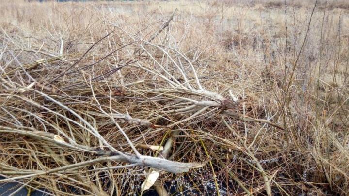 «Деревья просто уничтожили»: место для прогулки с детьми на Тополинке зачистят от клещей