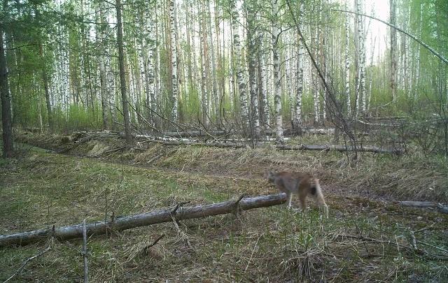 В Керженском заповеднике фотоловушки поймали рысей и стаи волков