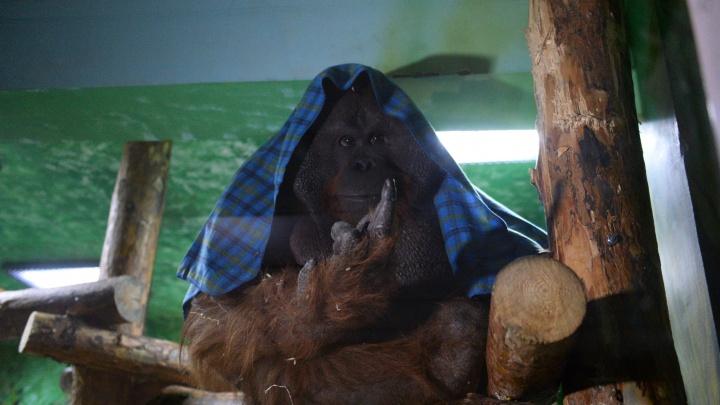 Видео: 160-килограммовый орангутан Захар уехал из Новосибирска в Екатеринбург