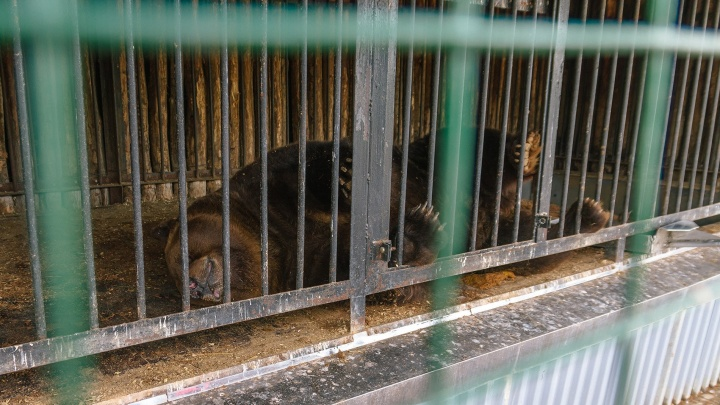 В Самарском зоопарке медведя Умку посадили на диету