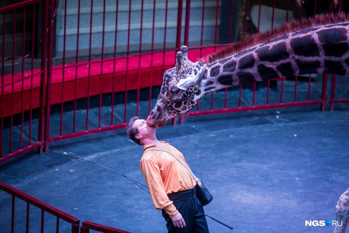 Главный артист выступает в середине шоу —остальное время зрителей развлекают другие животные, клоуны, танцоры и эквилибристы