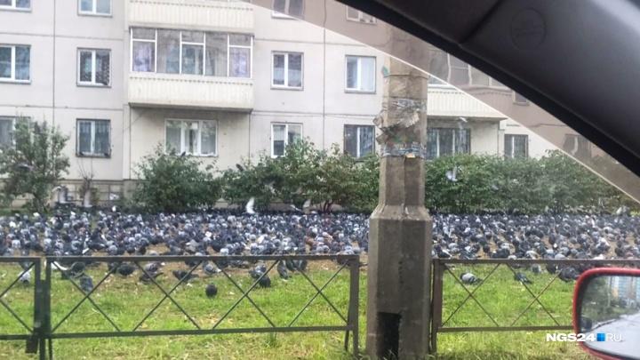 «Голубиный ужас»: сотни прикормленных голубей атаковали двор на Молокова