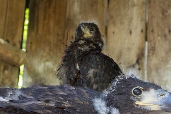 Орланы-белохвосты — четвертые по величине в Европе
