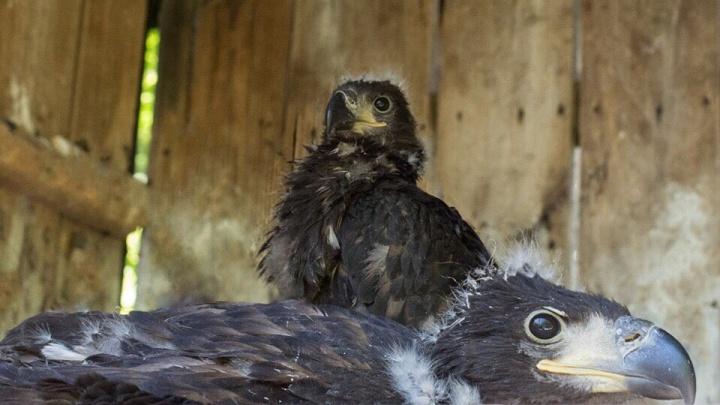 В ростовском зоопарке вылупились два птенца орлана-белохвоста