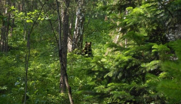 В заповеднике «Столбы» составили карту обитания медведей вблизи Красноярска