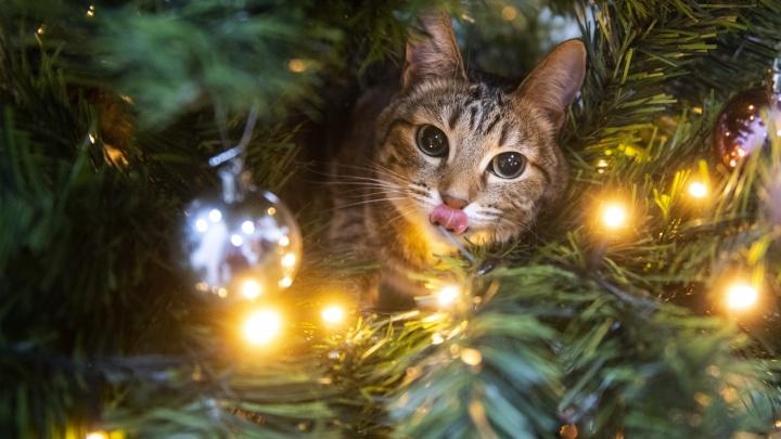 Новогоднее ми-ми-ми: 20 снимков котов и кошек читателей Е1.RU, которые создадут праздничное настроение
