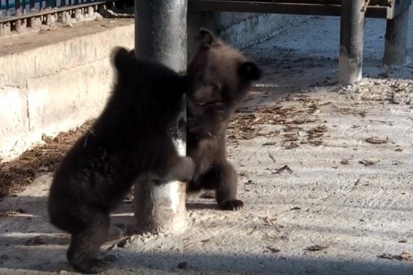 Если вы встретили маленьких миленьких медвежат, помните, что, скорее всего, где-то рядом ходит их мать
