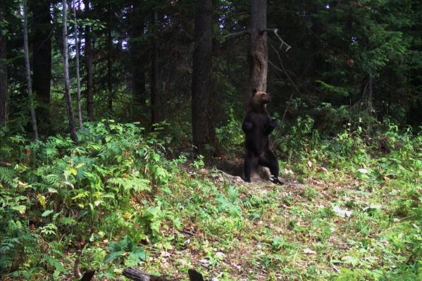 Медведя с фотоловушки прозвали танцором за смешную позу