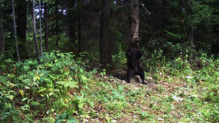 Медведь-танцор со «Столбов» победил в конкурсе снимков с фотоловушек