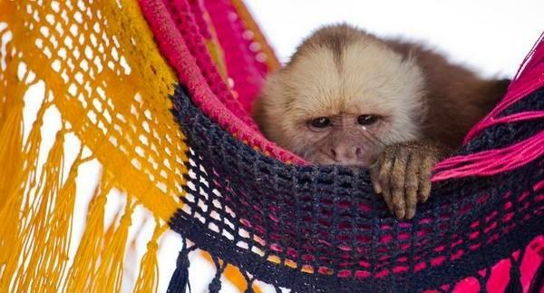 Любопытные, смешные и хулиганистые: новогодняя фотоподборка обезьян из разных стран от уральского путешественника