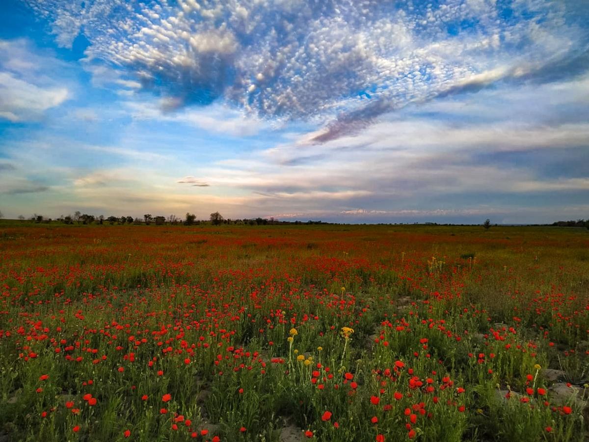 Маковые поля перед Алматы
