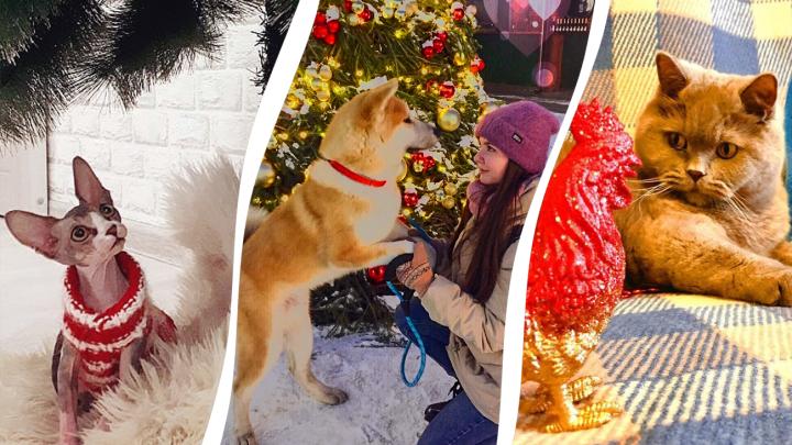 Котик, пёс и Новый год: любуемся праздничными фотографиями животных