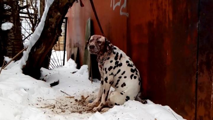 Собаку оставили умирать на холоде: в Перми нашли раненого далматина, привязанного к гаражу