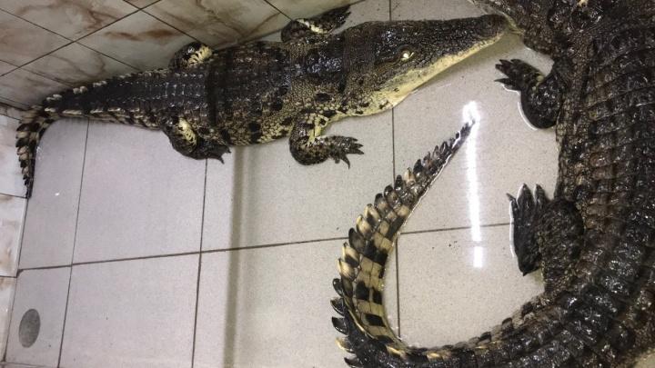 В Екатеринбург из Омска перевезли огромных братьев-крокодилов, переставших влезать в террариум