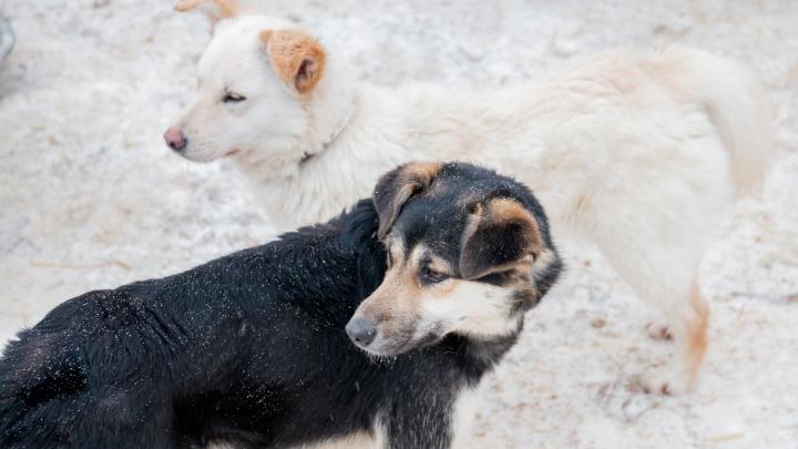 В Самарской области егерям разрешили охоту на диких собак