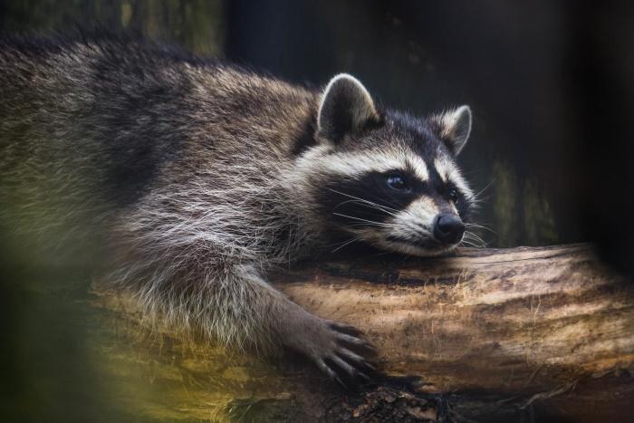 Бурые медведи, барсуки и еноты готовятся к спячке: работники зоопарка приносят им побольше сена для утепления домиков