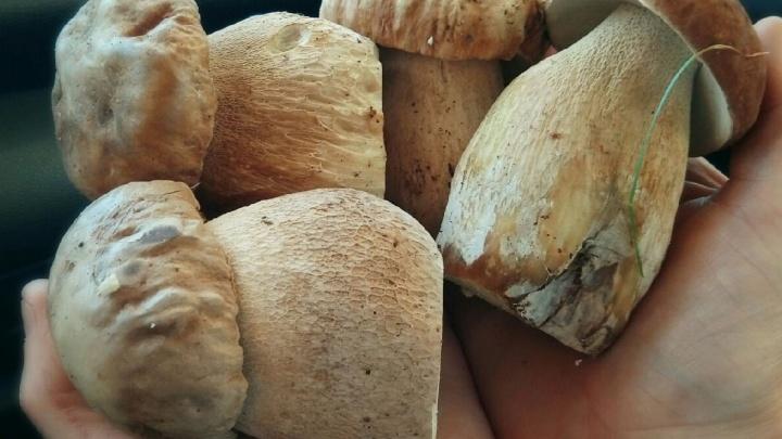 Грибы пошли! Где в Прикамье уже можно собирать белые, подосиновики и рыжики