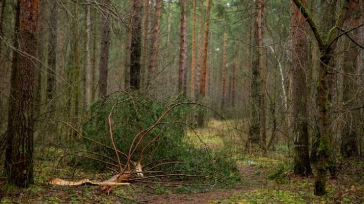Заколдованный лес: как выглядит Тверицкий бор после урагана