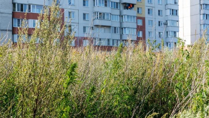 Омичи пожаловались на конопляное поле в Советском округе