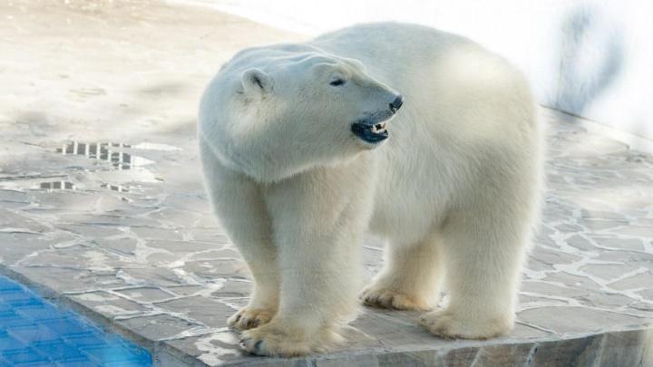 В ростовском зоопарке медведица Комета отпразднует день рождения