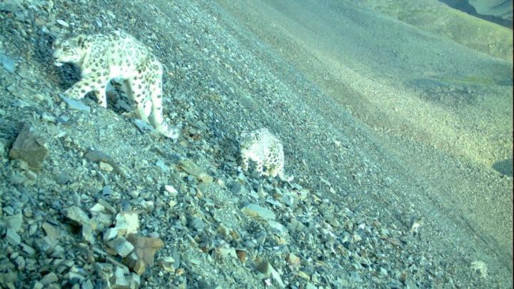 Росомаха, баран и котята: новосибирцы сняли редких зверей в Горном Алтае