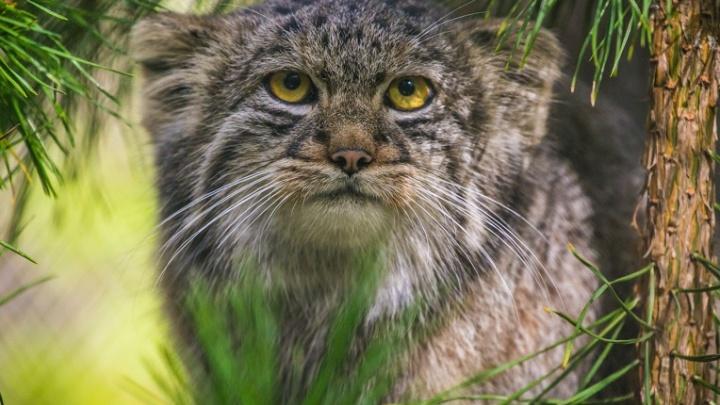Краснокнижный кот с круглыми глазами уехал из Новосибирска в Польшу