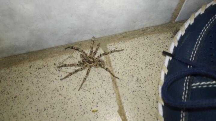«Для аллергиков угроза есть»: под Стерлитамаком поймали крупного тарантула