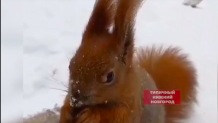 Храбрые белка, лось и заяц вышли к людям в Нижегородской области. И попали на видео