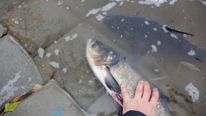 Специалисты нашли причину массовой гибели рыбы в Уфе