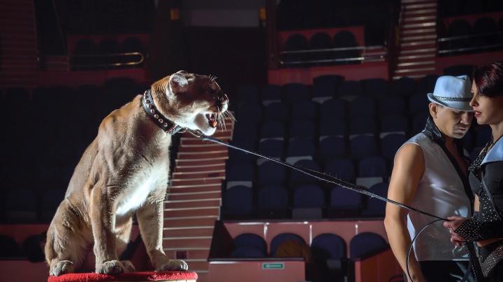 «Будет почти прямой контакт со зрителем»: в волгоградский цирк приехали дрессированные пумы