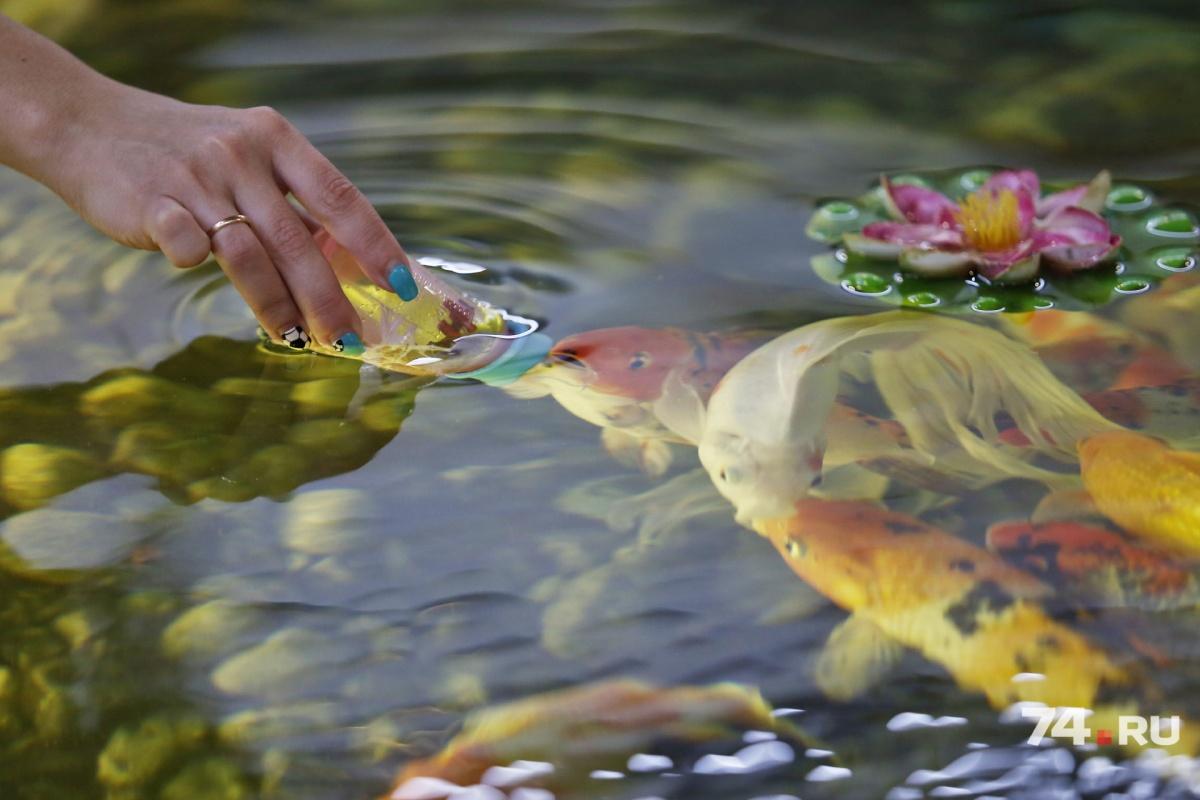 Карпы кои и золотая рыбка любят лакомиться из бутылочки