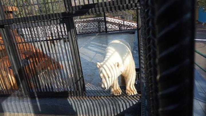 «Из жизни потеряшек»: спасенная из Норильска белая медведица играет в игрушки и привыкает к бассейну