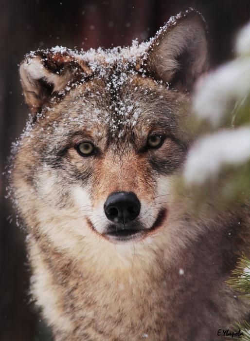 Погоды нынче стоят чудесные, по мнению серой волчицы Луны