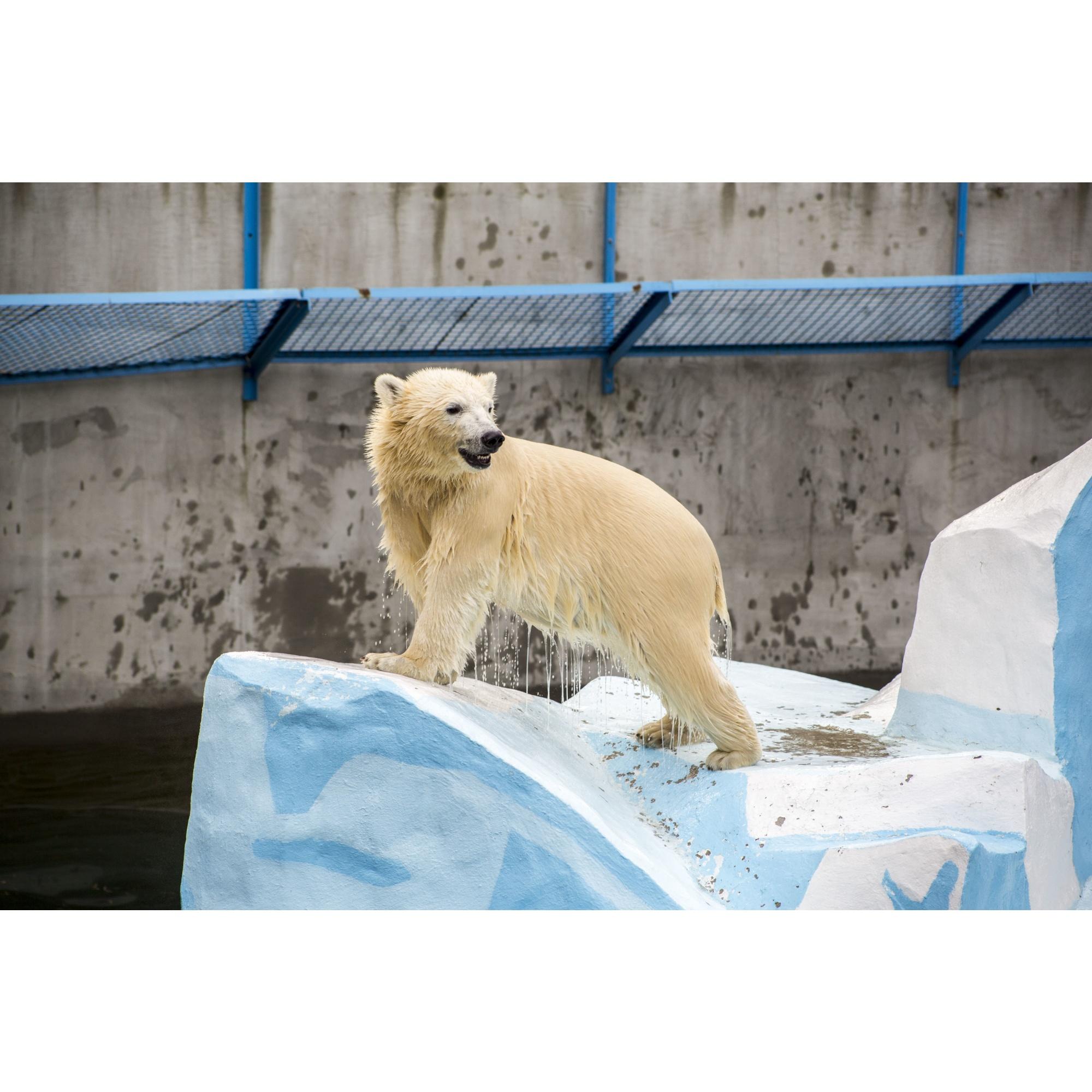 Новорождённые медвежата весят около 600–700 граммов. Сейчас им около года и вес их измеряется десятками килограммов