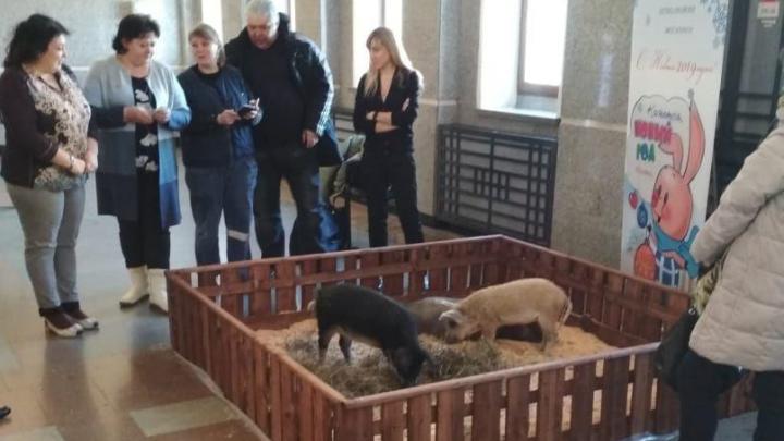 На вокзале Новосибирск-Главный появился загон со свиньями