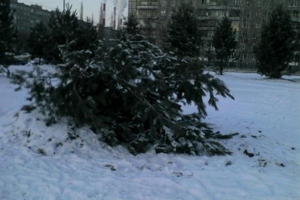 Половину сосны оставили лежать на снегу