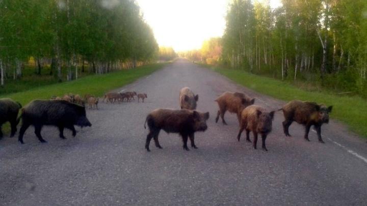 «Совсем окабанели»: в Омской области кабаны с потомством начали выходить на трассу