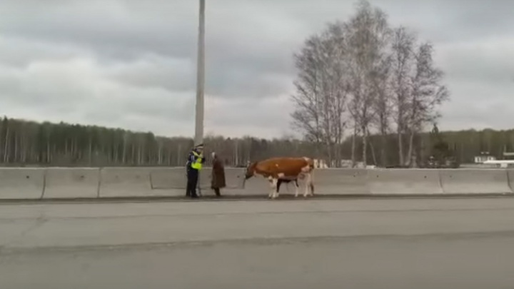 Дорожное видео недели: гаишник с коровой на Россельбане, сальто на велосипеде и водитель-вандал
