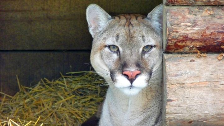 В Большереченском зоопарке пума Макс познакомился с невестой Радой